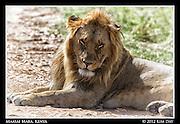 Lion Portrait.Maasai Mara, Kenya.September 2012