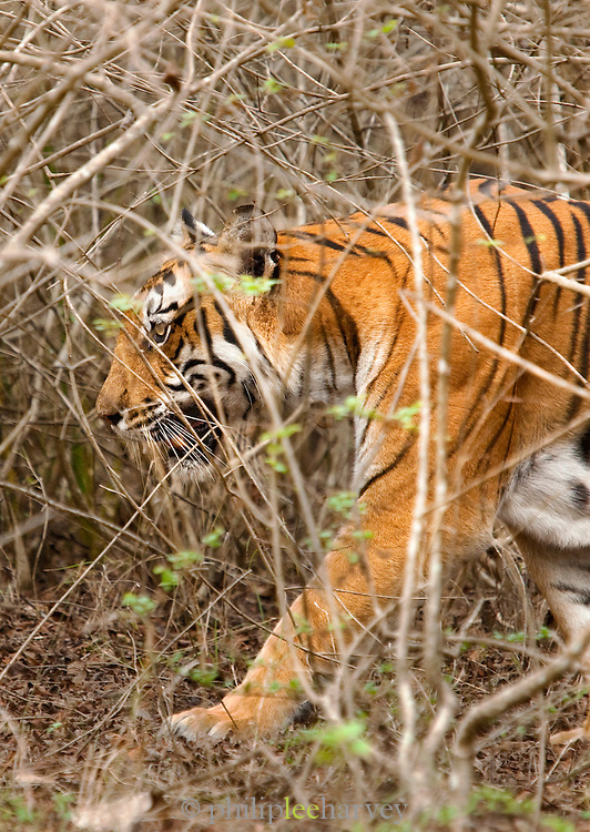 A Bengal Tiger in Bandipur National Park, Karnataka, India