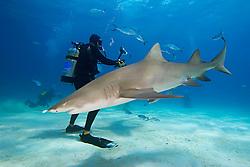 Lemon Shark, Negaprion brevirostris, and scuba divers, West End, Grand Bahama, Atlantic Ocean