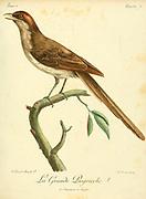 GRANDE-PIE-GRIECHE from the Book Histoire naturelle des oiseaux d'Afrique [Natural History of birds of Africa] Volume 2, by Le Vaillant, François, 1753-1824; Publish in Paris by Chez J.J. Fuchs, libraire 1799