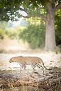 Leopard walking in South Luangwa National Park, Zambia