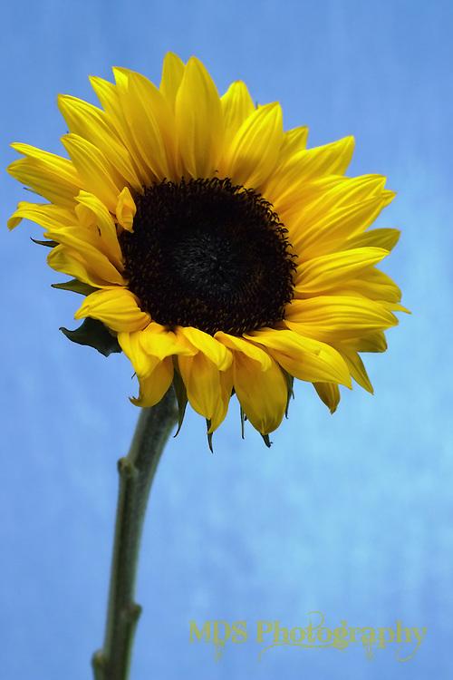 Yellow Sunflower (vertical/portrait orientation)