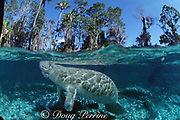 Florida manatees, Trichechus manatus latirostris, Three Sisters Spring, Crystal River, Florida, United States