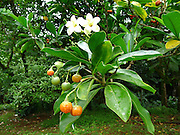Puakenikeni tree, Lyon Arboretum, Manoa Vally, Honolulu, Hawaii