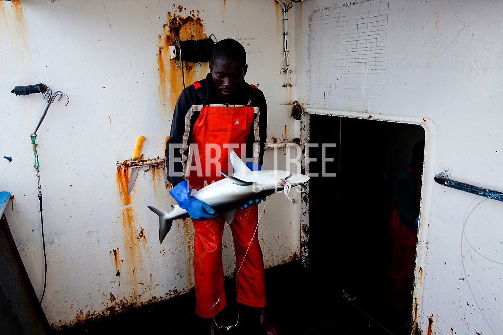 A crew memebr from the spanish longliner, Hermanos Labaen A Guarda pulls in a silky shark ( Carcharhinus falciformis )  in the Mozambique channel, 21st September 2012. The unregulated plunder of the Indian Ocean is a crisis Greenpeace is exploring. Greenpeace's ship, the Rainbow Warrior, is on a mission in the Indian Ocean to expose overfishing and to highlight the problems associated with excessive tuna fishing, unsustainable or illegal fishing practices, the lack of law enforcement, and the need for countries to cooperate and ensure that communities benefit from the wealth of their oceans in future. From 7 to 23 of September the Rainbow Warrior is sailing in Mozambican waters with fisheries enforcement officials on board in order to carry out joint surveillance and expose cases of illegal fishery. Photo: Paul Hilton / Greenpeace Over 100 million sharks are killed each year for the fin trade. Hong Kong, Singapore and China are the biggest consumers of shark fin globally. Indonesia is the biggest exported of shark fins annually. Photo: Paul Hilton for Earth Tree Images