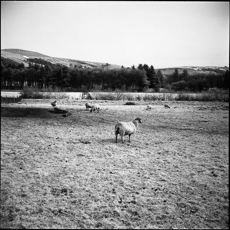 Sheep, Peak District 2013