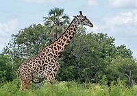 Masai Giraffe, Giraffa camelopardalis tippelskirchii, in Tarangire National Park, Tanzania