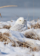 A snowy owl resting on a snow covered dune at West Dennis Beach.
