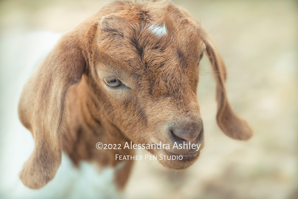 Young Nubian brown and white goat kid on central Ohio farm.