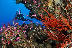 Pseudanthias tuka und Ellisella ceratophyta,Taucher am bunten Korallenriff mit Purpur-Fahnenbarschen und Besengorgonie, scuba diver with colorful coral reef and Purple queen and soft corals,  Bali, Indonesien, Indopazifik, Bali, Indonesia Asien, Indo-Pacific Ocean, Asia