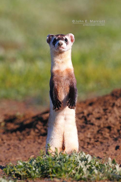 Wild black-footed ferret, Grasslands National Park, Saskatchewan, Canada, one of 35 reintroduced back into Canada in 2009.