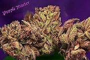 Purple Master nug photo shot in a professional photography studio.