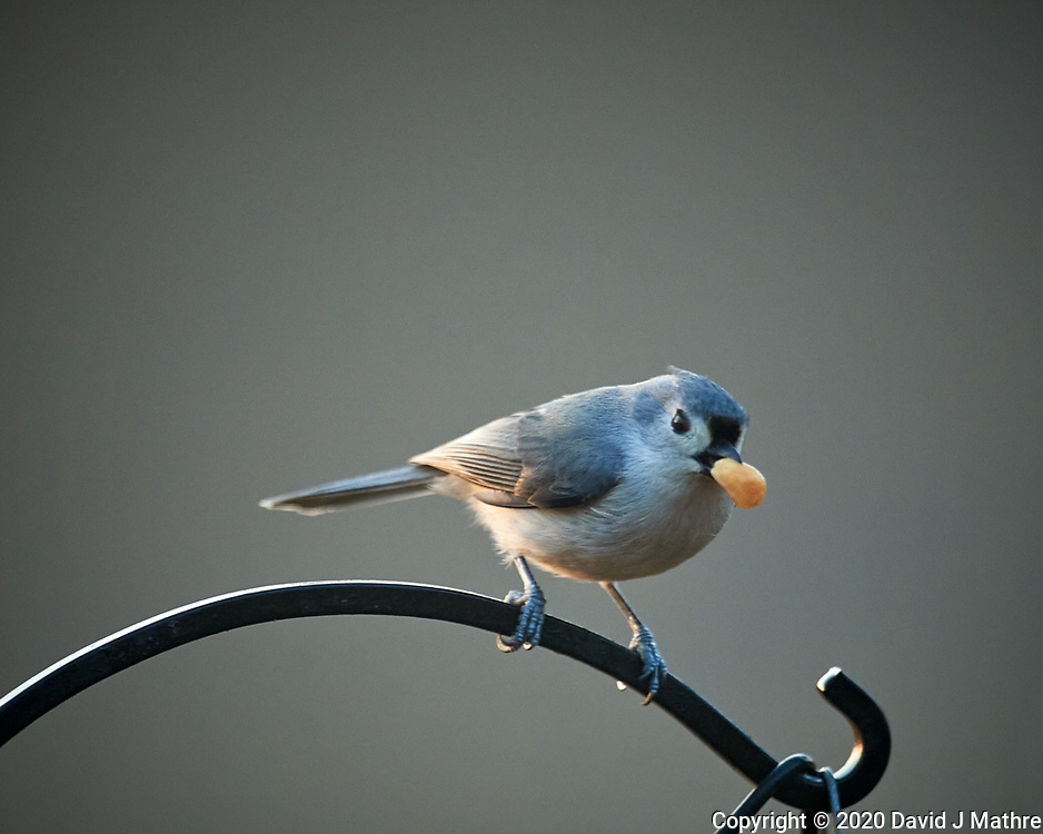 Tufted Titmouse. Image taken with a Nikon D5 camera and 600 mm f/4 lens (ISO 1600, 600 mm, f/4, 1/400 sec)