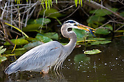 Great Blue Heron, Ardea herodias, standing in the river in the Everglades, Florida, USA