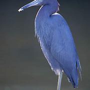 Little Blue Heron (Egretta caerulea).  Ding Darling National Wildlife Refuge,  Florida.