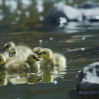 Baby goslings chicks look for food along a river bank.