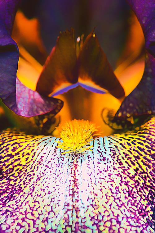 A macro view into an Iris Barbata Elatior flower