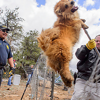 042415       Cable Hoover<br /> <br /> Cibola County Sheriff's Officer Kevin Dobbs, right, uses a catchpole to lift a dog over a fence to McKinley County Animal Control officer Byron Murphy during an inter-agency roundup of dogs at a private residence in Candy Kitchen Friday.