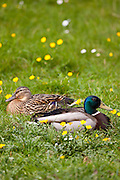 Male mallard drake and female duck pair paired off in meadow, The Cotswolds, Oxfordshire, UK