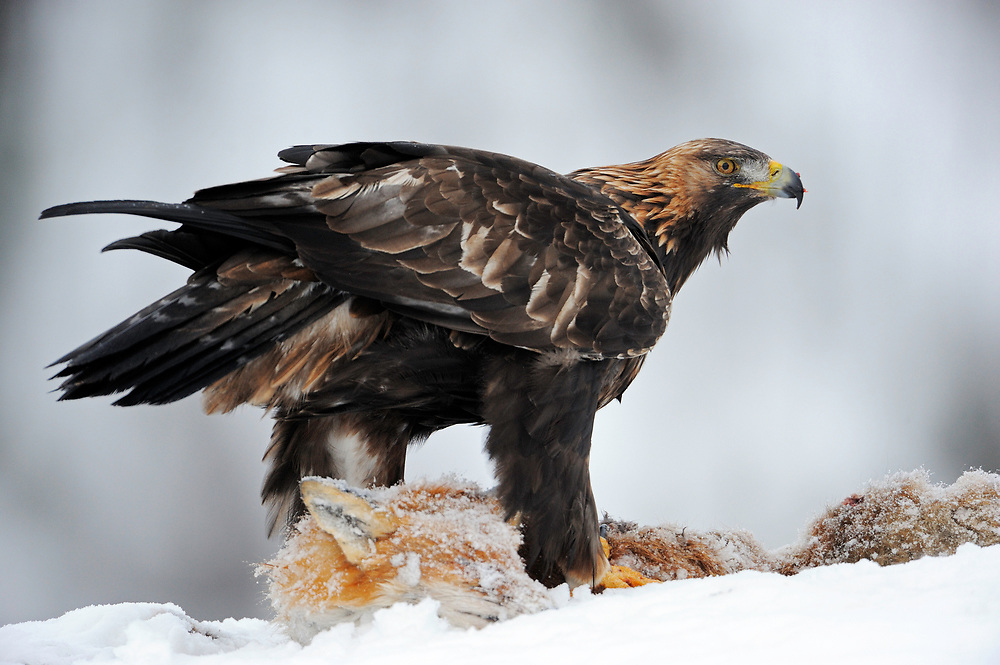 Golden eagle, Aquila chrysaetos, in Flatanger, Nord-Trøndelag, Norway<br /> Eating on a dead fox at an eagle-watching, ecotourism site.
