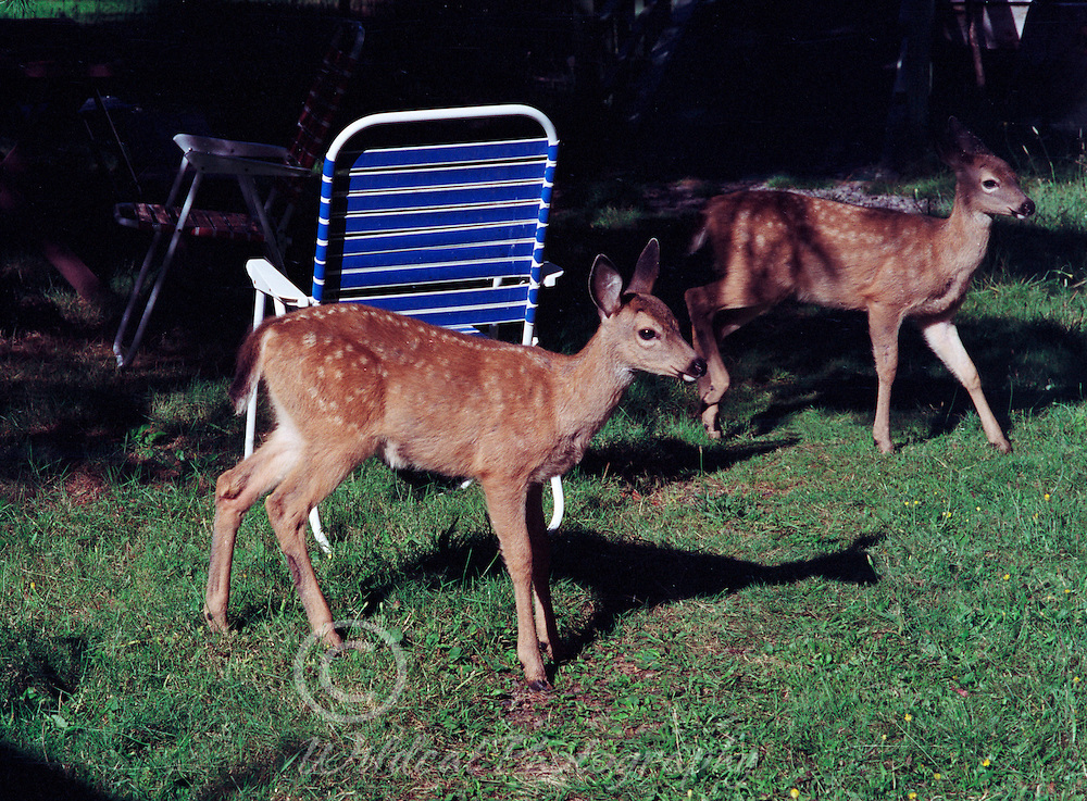 Fawns sneaking past the lawn chairs, creeping past the dog fence -- apple tree ahead.