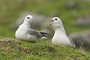 Fulmar, Fulmarus glacialis, pair calling and greeting, on cliffs by nesting ledge, St Kilda, Western Isles, Scotland, UK.<br /> bird, birds, petrel, petrels, p<br /> bird, birds, petrel, petrels, pair, calling, coastal,