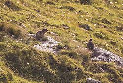 THEMENBILD - Murmeltiere sitzen auf Felsen in einer Bergwiese. Die Grossglockner Hochalpenstrasse verbindet die beiden Bundeslaender Salzburg und Kaernten und ist als Erlebnisstrasse vorrangig von touristischer Bedeutung, aufgenommen am 22. Juli 2019 in Fusch a. d. Grossglocknerstrasse, Österreich // Marmots sit on rocks in a mountain meadow.  The Grossglockner High Alpine Road connects the two provinces of Salzburg and Carinthia and is as an adventure road priority of tourist interest, Fusch a. d. Grossglocknerstrasse, Austria on 2019/07/22. EXPA Pictures © 2019, PhotoCredit: EXPA/Stefanie Oberhauser