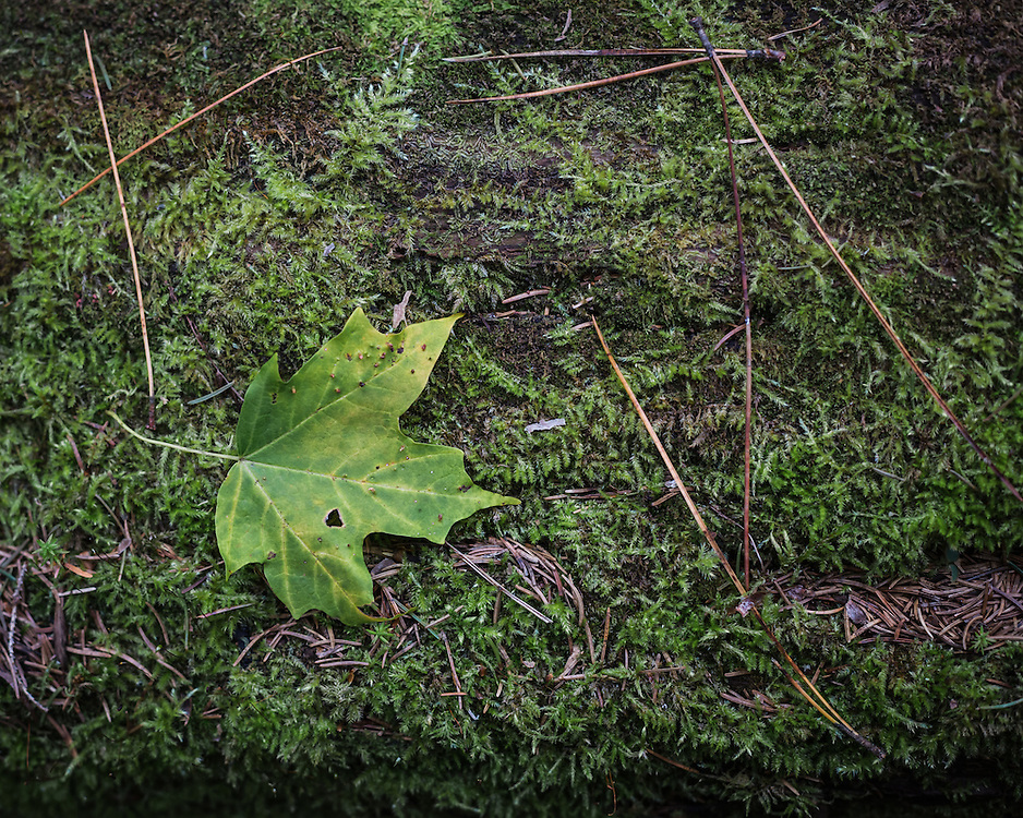 Nature photograph of a green leaf resting on  green moss.