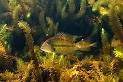 Demon Fish or Eartheater (Satanoperca leucosticta) in Aquatic Vegetation<br /> Permanant Freshwater Pond<br /> Savannah<br /> Rupununi<br /> GUYANA<br /> South America<br /> RANGE: Orinoco River Basin, Guianas & Lower Amazon River.