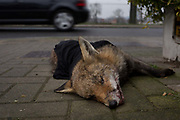 A car drives past a young urban north European fox Vulpes vulpes lying dead on the pavement and partially covered by a garment and moved from the road by a passer-by, after being killed by a vehicle on a residential south London street, on 23rd January 2020, in London, England. Vulpes vulpes has a long history of association with humans, having been extensively hunted as a pest and furbearer for many centuries, as well as being represented in human folklore and mythology.