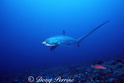 pelagic thresher shark, Alopias pelagicus, Monad Shoal, off Malapascua Island, Philippines ( Visayan Sea / Western Pacific Ocean )