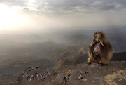 Gelada Baboon, Male, Theropithecus gelada, Simien Mountains National Park, Ethiopia, sitting at edge of cliff, vunerable, endangered, sunset