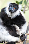 Black and White Ruffed Lemur, Varecia variegata, in tree, Near Mantadia National Park, Andasibe, Madagascar, Critically Endangered on the IUCN Red List and listed on Appendix I of CITES