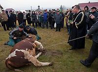 06.11.2011 Bohoniki (woj podlaskie) Polscy Tatarzy rozpoczeli swieto Kurban Bajram ( Swieto Ofiarowania ) jedno z najwazniejszych swiat muzulmanskich . W Bohonikach w ofierze zlozono byka n/z rytualny uboj byka fot.Michal Kosc/AGENCJA WSCHOD UWAGA!!!ZDJECIA NIE MOGA BYC WYKORZYSTANE W INNYM KONTEKSCIE NIZ DOTYCZACYM POLSKICH TATAROW ANI OBRAZAJACYM UCZUCIA RELIGIJNE MNIEJSZOSCI TATARSKIEJ!!!