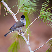 Male blackcap (Sylvia atricapilla) perched on a pine tree branch Photographed in Israel October
