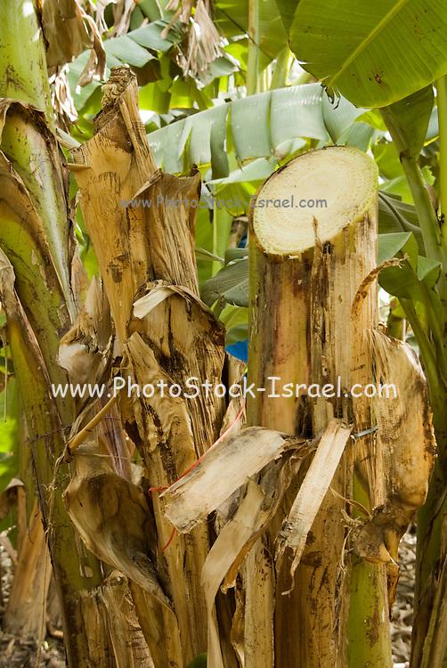 Israel, Jordan Valley, Kibbutz Masada The banana plantation After picking the banana bunch, the stem is cut to allow sun light to penetrate