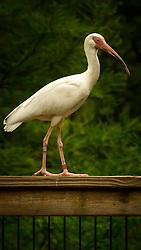 A bird balances as it walks across a railing
