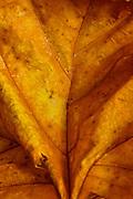 Gring's Mill, Tulpehocken River, Berk's County, Pennsylvania, Sycamore tree fallen leaf
