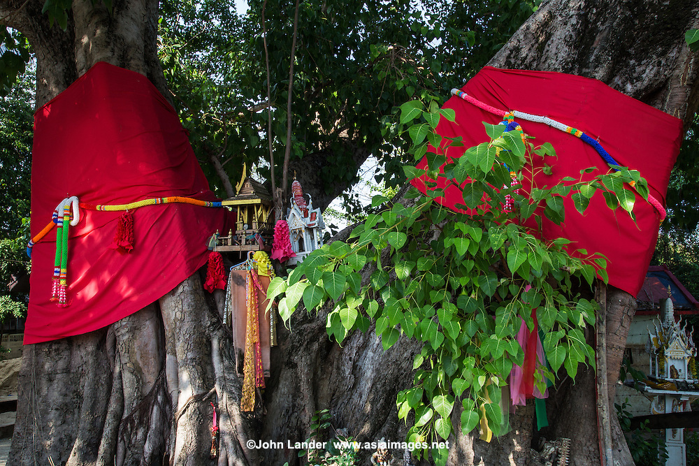 Sashes honoring a tree, which in Asia is typically a Banyan tree.  According to myth, the banyan is the one that can fulfill all your wishes.  Many sages and even Buddha himself have sought the meaning of life and attained nirvana under the Banyan tree.  After wandering for six years Buddha finally came to rest in a forest and sat under a Bodhi tree for seven days, meditatiing on his true nature. Thai Buddhists hold the tree sacred and wrap silk around it in respect.