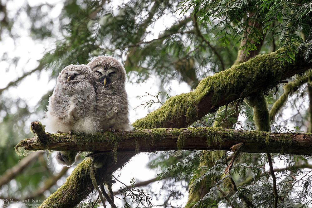 A pair of Barred Owl (Strix varia) fledglings snuggling together on a branch. Barred Owl owlets can be fed by parents for months after leaving the nest while they learn to hunt for themselves. An adult was heard hooting nearby but did not visit the owlets while I was there.  Photographed at Campbell Valley Park in Langley, British Columbia, Canada.