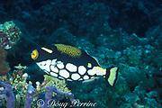 clown triggerfish, Balistoides conspicillum, <br /> Helengeli, North Male Atoll, Maldives, ( Indian Ocean )