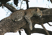 Africa, Tanzania, Serengeti National Park, leopard Panthera pardus on a tree
