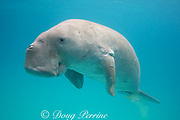 dugong or sea cow, Dugong dugon, Critically Endangered Species, with a remora or sharksucker, Echeneis naucrates, attached to its underside, Calauit Island, off Busuanga, Calamian Islands, Palawan, Philippines  ( Mindoro Strait, South China Sea, Western Pacific Ocean )