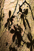 Leaves of Horse-Chestnut deciduous tree, Aesculus hippocastanum, as shadow on the bark of its trunk in Oxfordshire, UK