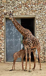 Adis, a three-week-old male South African giraffe calf, suckles from his mother at the Jerusalem Biblical zoo on April 10, 2016. EXPA Pictures © 2016, PhotoCredit: EXPA/ Photoshot/ Gil Cohen Magen<br /> <br /> *****ATTENTION - for AUT, SLO, CRO, SRB, BIH, MAZ, SUI only*****