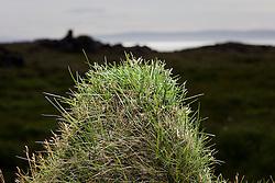Tussock  at Vatnsnes in Midfjodur, Iceland - Þúfa  á Vatnsnesi í Miðfirði