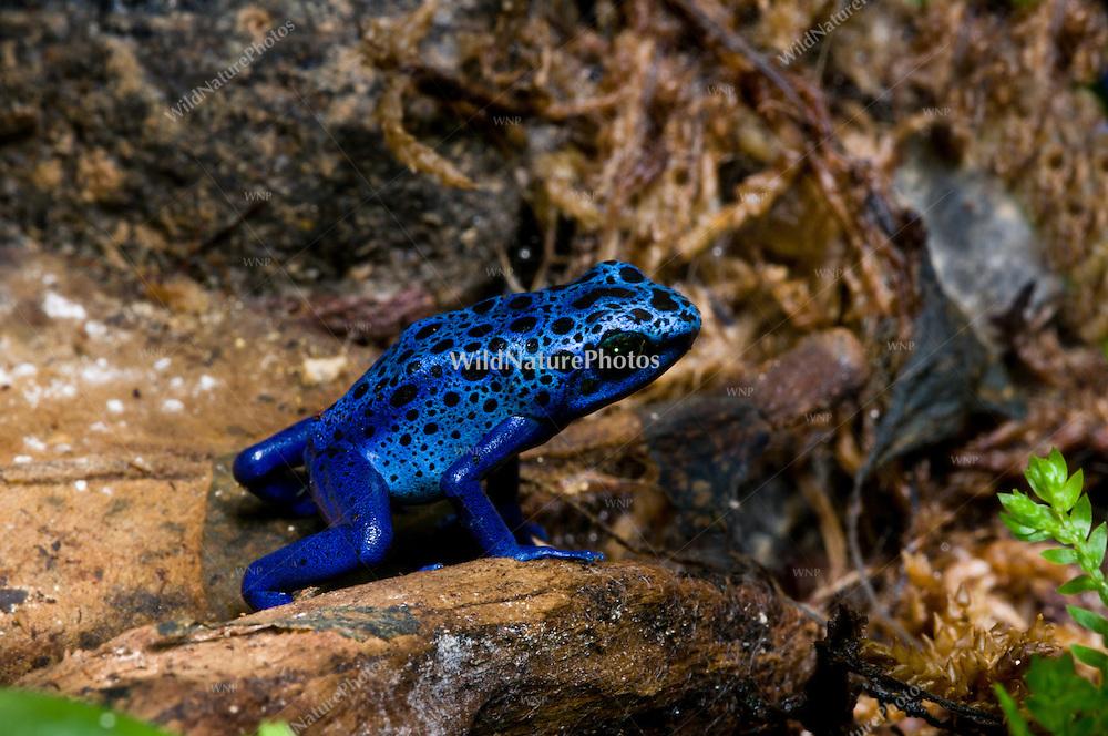 The Blue Poison Dart Frog (Dendrobates azureus), captive