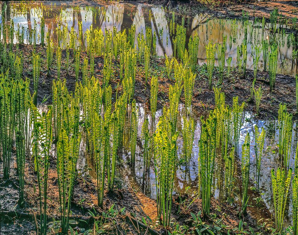 Cinnamon ferns, backlit in spring, fiddleheads, Delaware River, Delaware Water Gap, PA