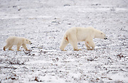 Female polar bear and cub walking on tundra near Hudson Bay  Ursus maritimus, Hudson Bay, Canada