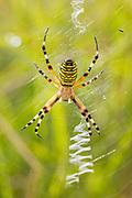 Female wasp spider (Argiope bruennichi) at her web. Godlingston Heath, Dorset, UK.